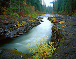 Rogue River NatIional Forest, OR  <br /> A young willow grows on the basalt banks of the Rogue River flowing through an autumn forest