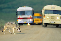 Gray wolf crosses road in Denali National Park, as visitors in tour busses watch.