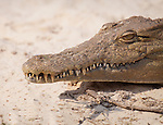 Closeup of a Nile crocodile on the bank of the Zambezi river near Livingstone, Zambia.