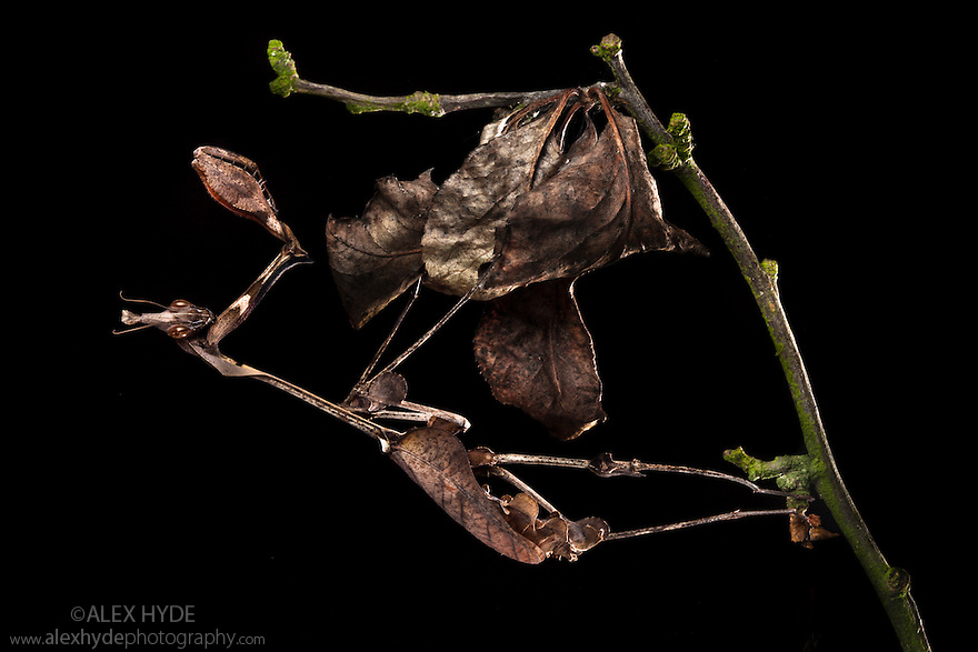 Violin Mantis female {Gongylus gongylodes} showing excellent camouflage amongst dead leaves. Captive. Distribution: India & Sri Lanka. website