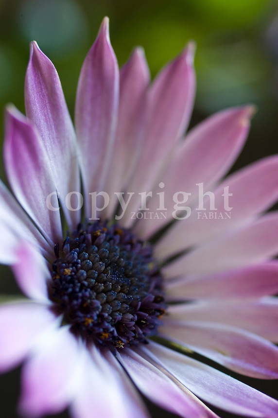 Detail of an African Daisy flowerhead