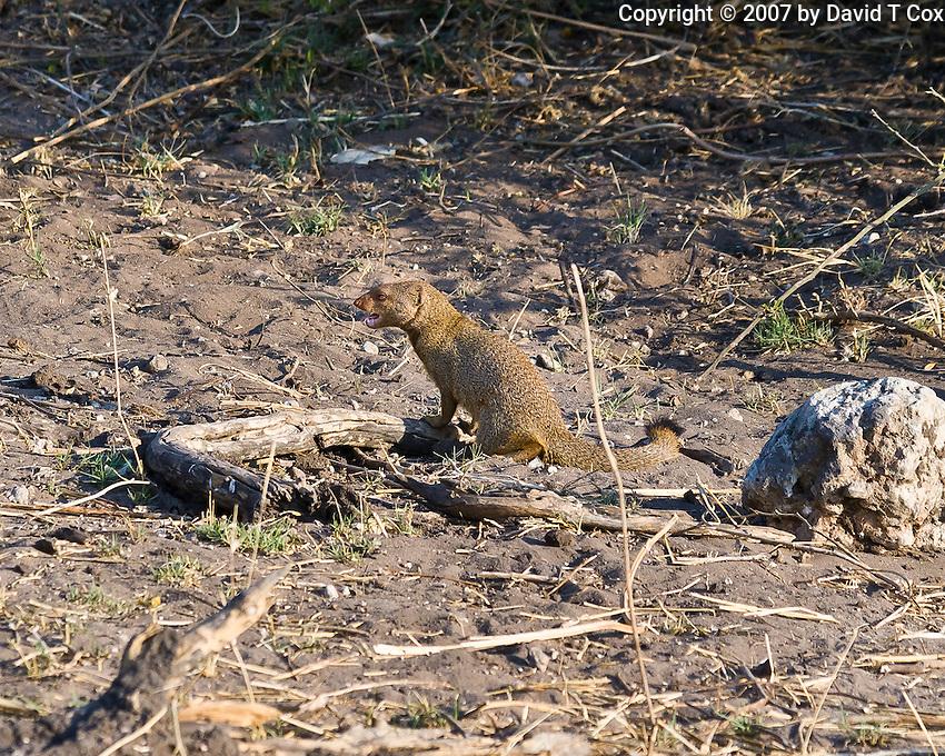 Slender Mongoose, Chobe Riverfront, Botswana