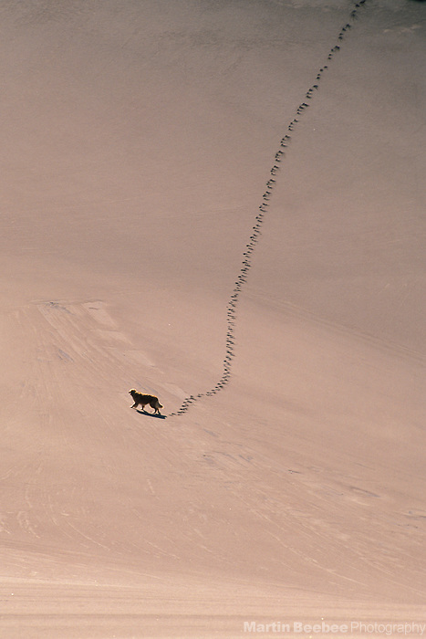 Dog making tracks through the sand, Great Sand Dunes National Monument, Colorado