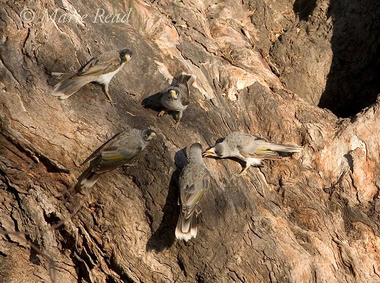 Noisy Miners (Manorina melanocephala), family group of five interacting, Dalby, Queensland, Australia