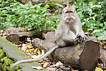 Monkey Forest, Ubud, Bali, Indonesia; a crab-eating macaque (Macaca fascicularis) monkey sitting on a log along the path through the sanctuary
