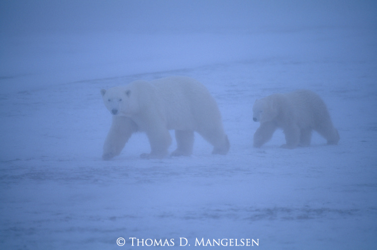 Polar bear cub follows its mother through a snowstorm in Churchill, Manitoba, Canada.