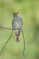 570500004 a wild greater pewee contopus pertinax flutters its wings while sitting on a branch in rosy canyon campground mount lemmon tucson arizona united states