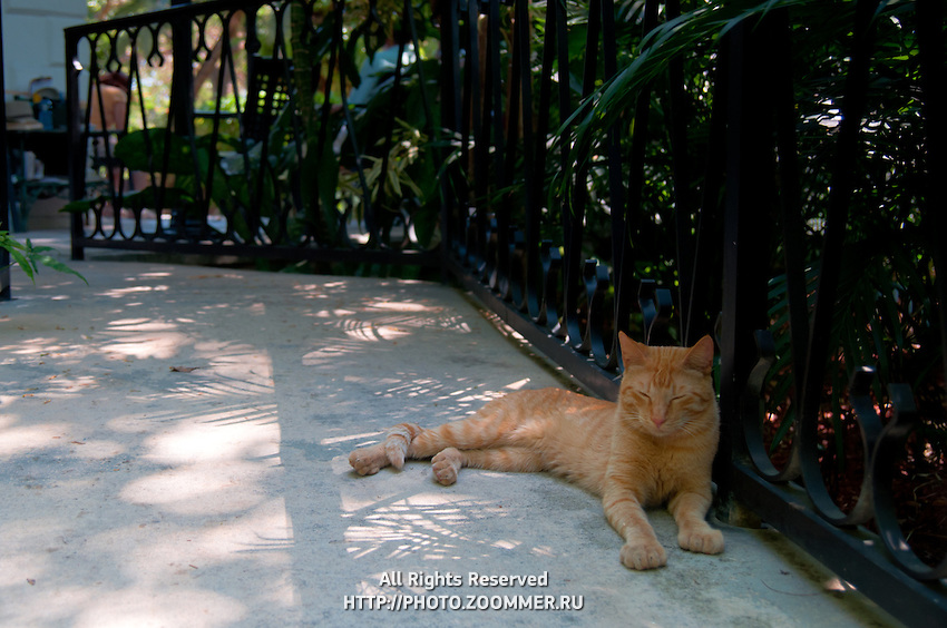 Red cat sleeping on the pavement of Ernest Hemingway home and museum garden In Key West, Florida