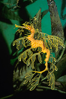 leafy sea dragon Phycodurus eques ( c ) Australia