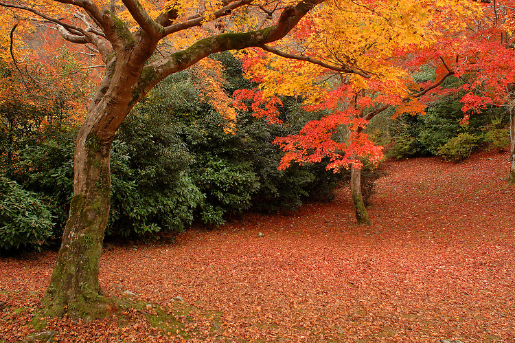 Kyoto, Japan.Nov. 2006.Red leaves in the mountain of Arashiyama in Kyoto, Japan..Photo by Toru Morimoto