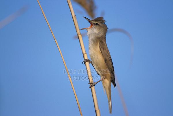 Great Reed Warbler, Acrocephalus arundinaceus, male singing on Common Reed (Phragmites australis), Denja, Spain, Europe