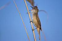 Great Reed Warbler, Acrocephalus arundinaceus, male singing on Common Reed (Phragmites australis), Denja, Spain, Europe