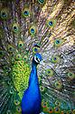 Peacock, Paws
