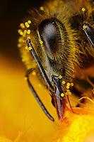 Honeybee feeding on pumpkin flower, notice yellow pollen on bee