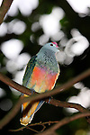 Rose-crowned fruit-dove, Ptilinopus superbus