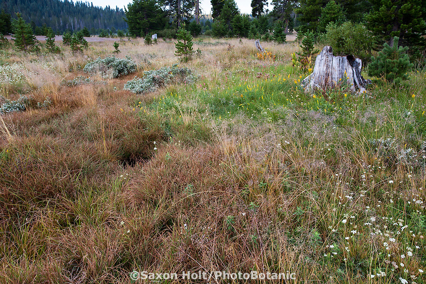 Carex (Sedge) in damp meadow seep at headwaters South Fork American River, California native plant transitional meadow with tree stumps and young trees