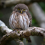 Ferruginous Pygmy Owl in the Atlantic Rainforest of Mbaracayu,Paraguay