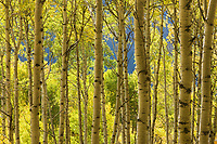 Aspen Trees, Telluride, Colorado.