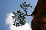 .Socotran frankincense. Socotra Yemen