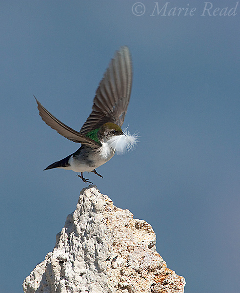 Violet-green Swallow  (Tachycineta thalassina), female taking flight from tufa tower carrying a feather for nest lining,Mono Lake, California,USA