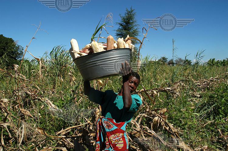 Blind woman harvesting corn.