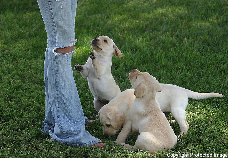 3 Yellow Labrador Puppies
