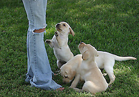 3 Yellow Labrador Puppies
