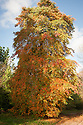 Tupelo, Black tupelo or Black gum tree (Nyssa sylvatica), late October. A small, slow-growing deciduous tree, native to eastern North America. Ovate leaves to 15cm in length turn brilliant red and yellow in autumn.