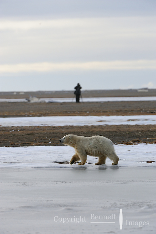 A photographer takes pictures of a polar bear cub near the community of Kaktovik, Alaska, on the northern edge of ANWR, where it is waiting for the Arctic Ocean to freeze.