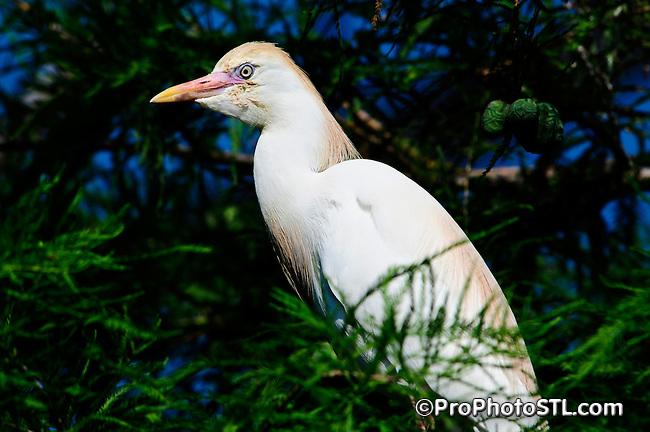 Cattle eagret (Bubulcus ibis)
