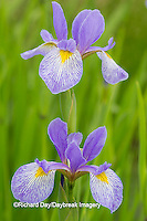 63899-05218 Blue Flag Iris (Iris versicolor) in wetland, Marion Co., IL