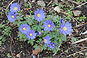 Blue form of Anemone blanda, mid March.