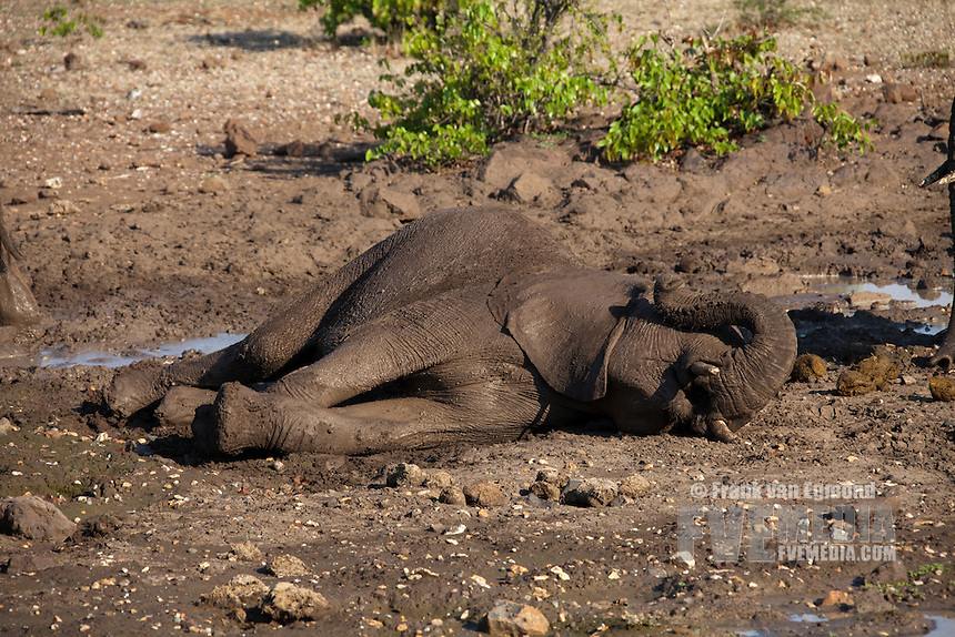 African Elephant (Loxodonta africana). Vulnerable species...Elephant lying down briefly at a waterhole and using it's trunk for rubbing it's eyes...Mashatu Game Reserve..Tuli block, Botswana..November 2010.