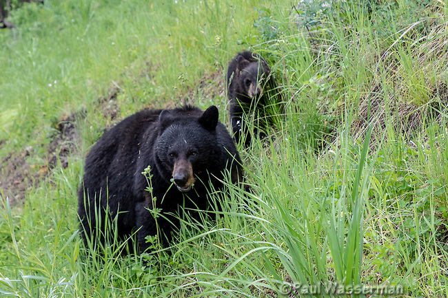 Black Bear and cub at Yellowstone National Park, Wyoming
