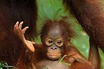 Bornean Orangutan baby (Pongo pygmaeus), Camp Leaky, Tanjung Puting National Park, Kalimantan, Borneo, Indonesia.