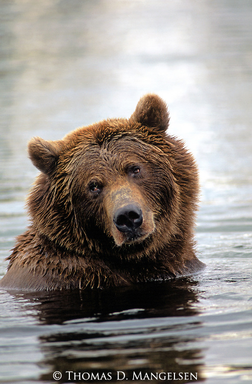 A brown bear fishes for salmon in the Brooks River in Katmai National Park, Alaska.