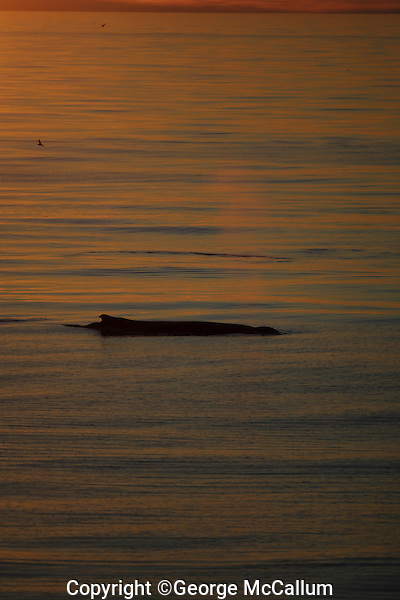 Humpback whale Megaptera novaeangliae logging and spouting on the Surface at Dusk. 82N Kvitoya, Arctic Ocean