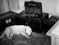 "Faithful friend mourns American hero.  Along with the many millions to mourn the passing of American hero, General George S. Patton, Jr., is his dog ""Willie,"" the late general's pet bull terrier.  Bad Nauheim, Germany.  January 1946. INP. (OWI)<br /> Exact Date Shot Unknown"
