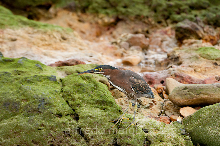 Bare-throated Tiger-Heron (Tigrisoma mexicanum) standing on rocks at Isla Pacheca forest. Las Perlas Archipelago, Panama province, Panama, Central America.