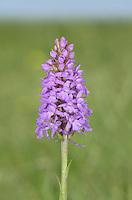Chalk Fragrant-orchid - Gymnadenia conopsea