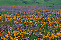 California poppies, purple owl's- clover<br />