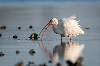 White Ibis eating a crab