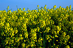 AF5CPA Oil seed rape yellow flowers against blue sky