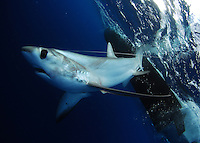 Thresher Shark, Big Eye Thresher shark