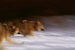 Gray Wolves, Montana