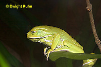 FR24-520z   Waxy Monkey Leaf Frog, Phyllomedusa sauvagii, Central and South America