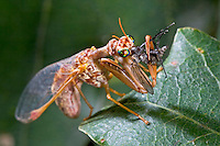 Fanghaft, Steirische Fanghaft, mit Beute, Mantispa styriaca, syn. Poda pagana, syn. Mantispa pagana, Fanghafte, Mantispidae, mantidfly, mantis fly, mantispid, mantid lacewing, mantis-fly, mantis flies, mantidflies, mantispids, mantid lacewings or mantis-flies, Neuroptera, Planipennia, Mantispe de Styrie