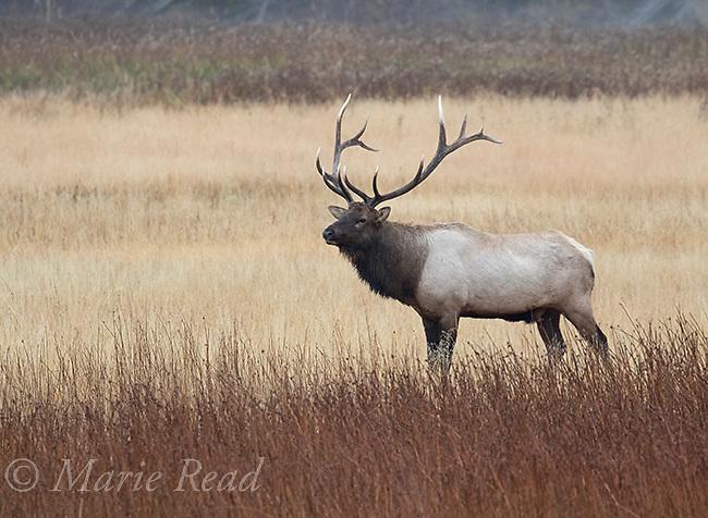 Elk (Cervus elaphus) (AKA Wapiti), male, Hayden Valley, Yellowstone National Park, Wyoming, USA