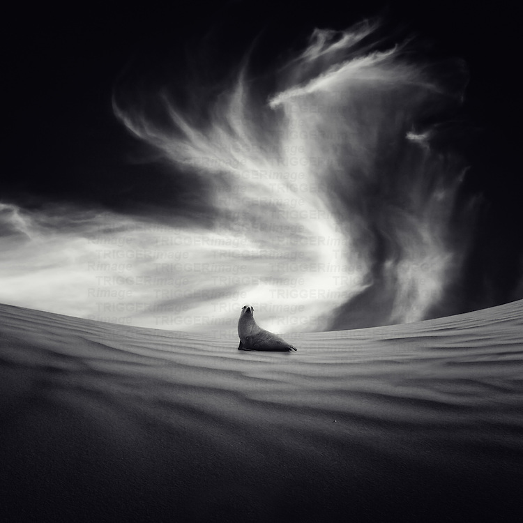 A lone sealion on a sand dune with swirling clouds