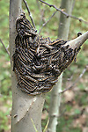 Massing of eastern tent caterpillar in early evening. Malacosoma americanum<br />